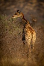Southern Giraffe Stands Browsing Thornbush In Sunshine