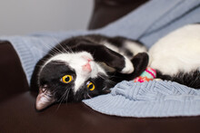 A Happy Black And White Cat With Yellow Eyes Is Rolling Over On A Leather Chair Covered With Blue Knitted Blanket