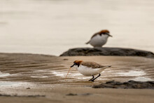 Red-capped Plover Pulling A Worm From Sand At Nairns Reserve Western Australia