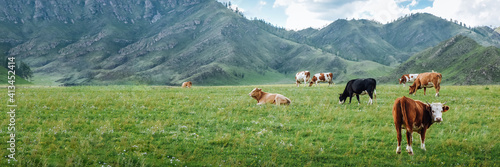 Fototapeta Herd of cows in a summer rural landscape on a summer day in a mountain area Panorama, banner obraz