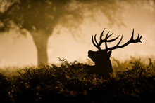 Red Deer Stag In Silhouette, Scenting The Air