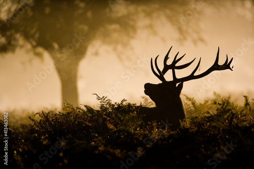 Fototapety, obrazy: Red Deer stag in silhouette, scenting the air