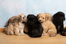 Group Of Little Cute Havanese Sitting And Posing