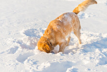 Golden Retriever Sniffing And Playing In The Snow