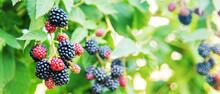 Blackberries Grow In The Garden. Ripe And Unripe Blackberries On A Bush.