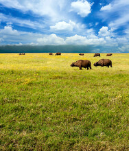 Buffalos In Africa