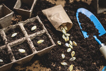 Sowing Pumpkin Seed In Soil. Gardening At Spring. Planting Seeds Into Peat Pot On Table