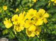 canvas print picture - Yellow Oxalis pes-caprae, Bermuda buttercup or African wood-sorrel flowers, close up. Buttercup oxalis is tristylous flowering plant in the wood sorrel family Oxalidaceae. Common sourgrass or soursop.