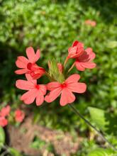 Fireworks Flower Or Crossandra Flower In Full Bloom On A Sunny Day