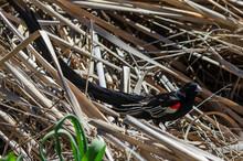Euplecte à Longue Queue,.Euplectes Progne, Long Tailed Widowbird, Afrique Du Sud