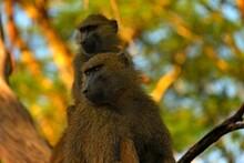 Two Monkeys In A Tree.