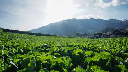 Fototapeta Mountainous plantation area, Brakseng, Cangar, East Java obraz