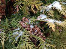 łuski Nasion Szyszek żywotnika(thuja) Na Gałęzi Pokrytej śniegiem
