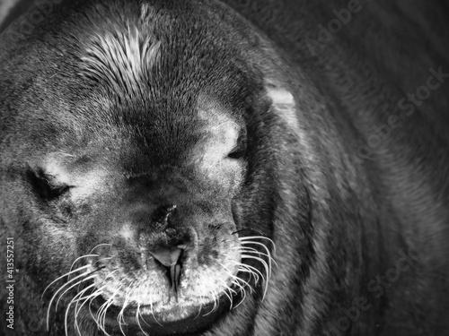 Tablou Canvas Close-up Portrait Of Sea Lion