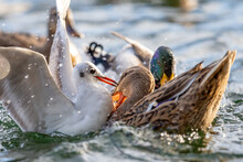 Seagull And Duck Fighting In Water