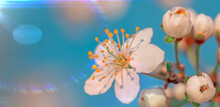 Cool Branch Of Blossoming Wild Plum Selective Soft Focus On Blurred Plum Tree And Blue Sky Background In Sunlight With Copy Space. Beautiful Floral Image Of Spring Nature Close Up Macro.