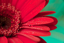 Red Gerbera Flower With Water Drops. Red Daisy Macro With Water Droplets On The Petals On Green Background