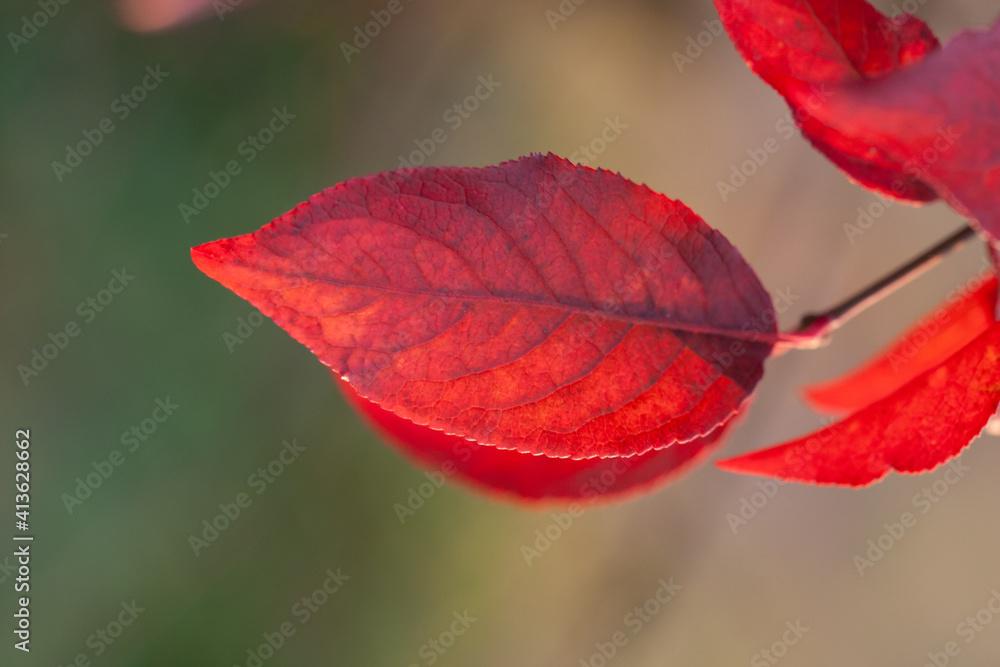 Czerwony liść