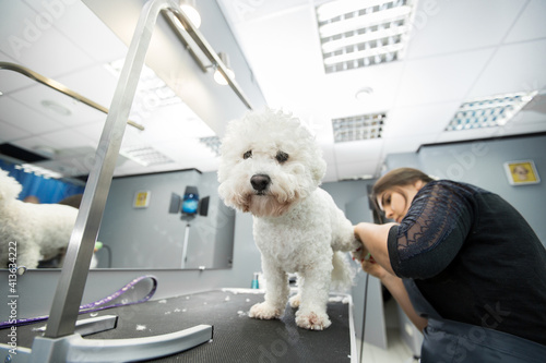 Fototapeta Groomer trimming a small dog Bichon Frise with an electric hair clipper