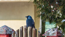 The Corvus Monedula Sitting On A Fence.
