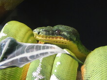 Close-up Of Green Tree Python