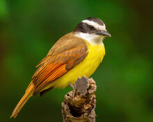 Great Kiskadee On Branch