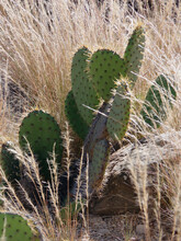 High Angle View Of A Beavertail Cactus Opuntia Basilaris In The Desert Grass