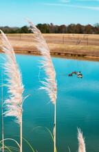 Tan Milkweed In Wind With Ducks In Teal Blue Pond On Country Resort