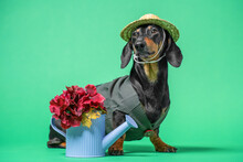 Funny Dachshund Gardener Dog In Straw Hat And Work Jacket Sits With Watering Can Decorated With Beautiful Artificial Red Flowers And Leaves, Green Background, Copy Space.