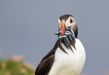 Atlantic Puffin With Fish Portrait