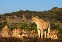 Pride Of Lions Rest On A Ridge Lit By The Morning Sun, While The Dominate Female Stands At The Watch. Mountain And Deep Blue Sky In Background