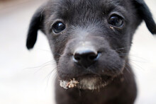 Black Little Cute Puppy Face Closeup With White Background