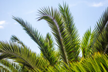 Palm Leaves Against The Sky.