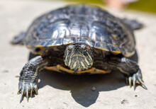 Close Up Portrait Of A Turtle. Animal