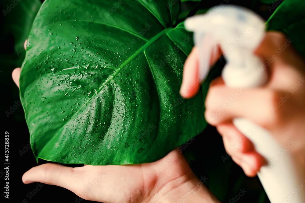 Fototapeta Houseplant care, dust removal from leaves. Spraying and fertilizing