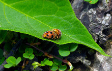 A Couple Of Ladybugs Mating On A Sunny Morning
