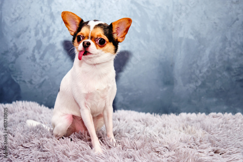 Fotografia Chihuahua companion dog is posing. Cute playful creme brown doggy