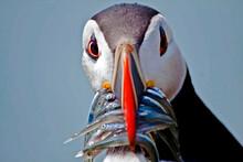 Summer Portrait Of Puffin Bird In Skomer Island In Wales