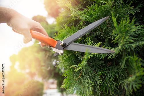 Fototapeta Worker hands with garden shears cutting hedge, trim tidy shrub obraz