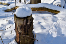Snow Topped Tree Stump In A Forest Close To Oss, Netherlands