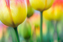 Vivid Gradient Color Tulips In Selective Focus For Your Modern Background In A Hippie Style. Bright Yellow Spring Flowers On Blurred Bokeh For Your Floral Banner Or Poster.