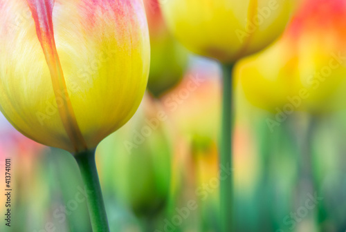 Vivid gradient color tulips in selective focus for your modern background in a hippie style фототапет