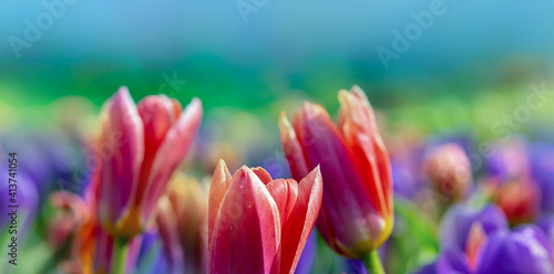 Petals of pink tulips in selective focus, close up. Spring flowers outdoors in a botany park on blurred violet and green background for your floral banner or wide billboard on a flowers festival. © Repina Valeriya