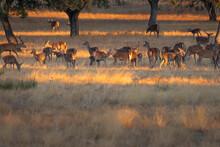 Herd Of Deer In Monfrague National Park, Spain During Sunset