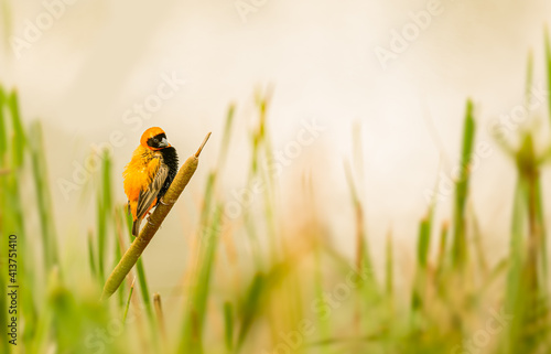 Fotografija Male southern red bishop Euplectes colorful bird sitting on a branch
