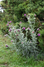 Musk Thistle, Carduus Nutans Or Nodding Thistle