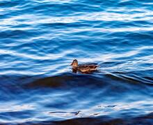 Duck On Blue Pond Water Background