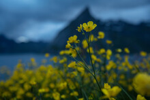 Yellow Buttercup Flowers With Mountain Backdrop, Moskenesøy, Lofoten Islands, Norway