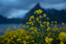 Yellow Buttercup Flowers With Mountain Backdrop, Moskenesøy, Lofoten Islands, Norway