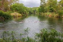 Hippos In The Mzima Springs In Kenya